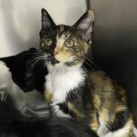 Adopt A Pet :: Cali-Kat - Cleveland, AL