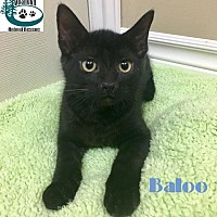 Adopt A Pet :: Baloo - Cute Dude! - Huntsville, ON