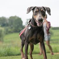 Doberman Pinscher Dog for adoption in Oxford, Pennsylvania - Blue