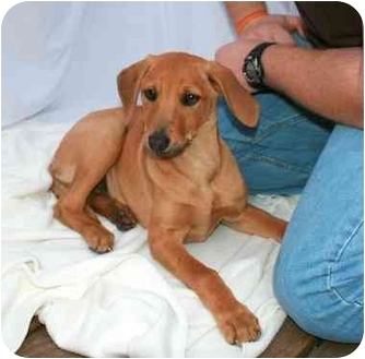 Hound (Unknown Type) Mix Puppy for adoption in Wayne, New Jersey - Bambi