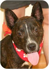 Dutch Shepherd Mix Dog for adoption in Cincinnati, Ohio - Bridge