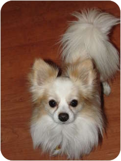 Chihuahua Dog for adoption in Astoria, New York - Captain