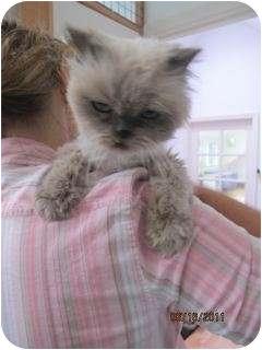 Himalayan Cat for adoption in Davis, California - Lil Peanut