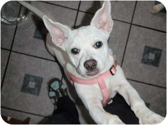 Boston Terrier Mix Puppy for adoption in New Boston, New Hampshire - Annie