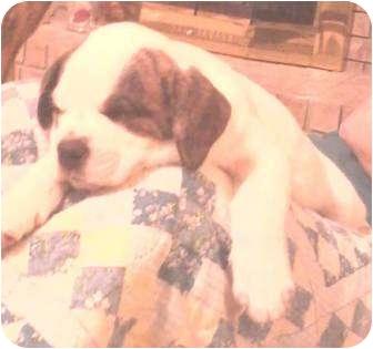 Labrador Retriever/Catahoula Leopard Dog Mix Puppy for adoption in Cranford, New Jersey - Princess