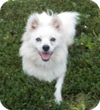 American Eskimo Dog Dog for adoption in Elmhurst, Illinois - Lolly