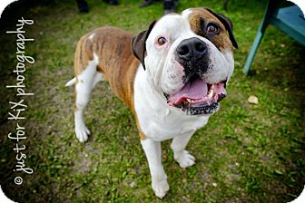 American Bulldog Mix Dog for adoption in Invermere, British Columbia - Bogie