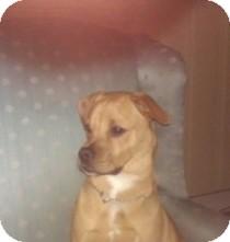 Pug/Labrador Retriever Mix Dog for adoption in selden, New York - Benny