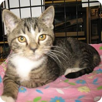 Domestic Shorthair Kitten for adoption in Tucson, Arizona - Arry