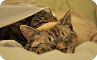Siamese Cat for adoption in Harrisburg, North Carolina - Ash
