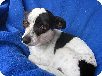 Rat Terrier Mix Dog for adoption in Irvine, California - Aiko-WATCH MY VIDEO!!!