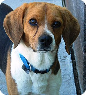 Beagle Dog for adoption in Cheyenne, Wyoming - Max