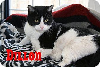 Domestic Shorthair Cat for adoption in East Stroudsburg, Pennsylvania - Dillon