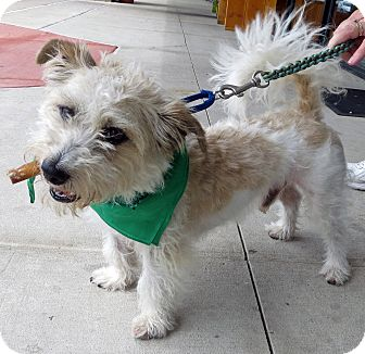 Terrier (Unknown Type, Small) Mix Dog for adoption in Marseilles, Illinois - Skipper