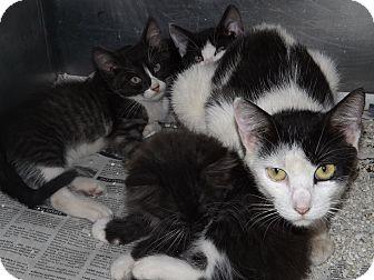 American Shorthair Cat for adoption in Thomaston, Georgia - The Wheels on the Bus