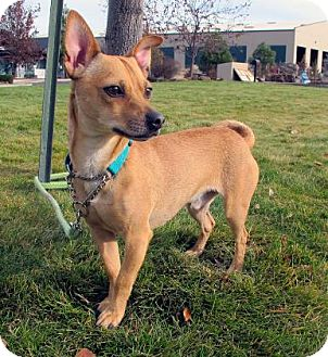 Chihuahua Mix Dog for adoption in Redmond, Oregon - Moreno