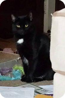Domestic Shorthair Cat for adoption in Putnam, Connecticut - Rangoon