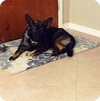 German Shepherd Dog Mix Puppy for adoption in Missouri, Texas - Raven
