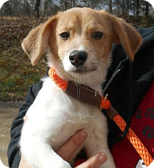 Beagle/Dachshund Mix Puppy for adoption in Salem, New Hampshire - PUPPY SISSY