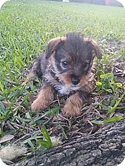 Yorkie, Yorkshire Terrier/Dachshund Mix Puppy for adoption in Metairie, Louisiana - Snicker Doodle