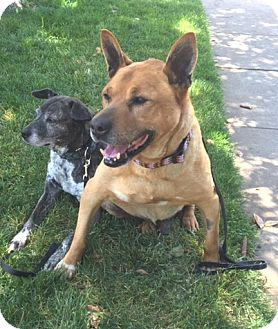 Chow Chow/German Shepherd Dog Mix Dog for adoption in West Los Angeles, California - Clyde