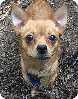 Pomeranian/Chihuahua Mix Dog for adoption in Oak Ridge, New Jersey - Bebe