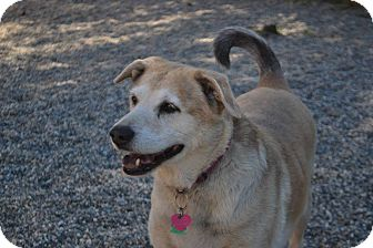 Labrador Retriever/Norwegian Buhund Mix Dog for adoption in North Pole, Alaska - Cherry
