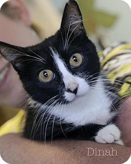 Domestic Shorthair Cat for adoption in West Des Moines, Iowa - Dinah