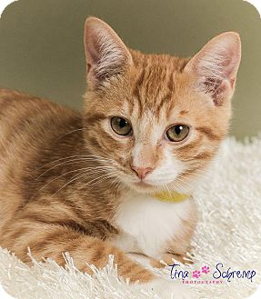 American Shorthair Kitten for adoption in Big Canoe, Georgia - Nutmeg