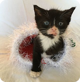 Domestic Shorthair Kitten for adoption in Wayne, New Jersey - Claire