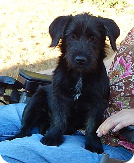 Scottie, Scottish Terrier/Terrier (Unknown Type, Small) Mix Dog for adoption in West Sand Lake, New York - Posh (16 lb) Precious Sweetie!