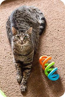 Domestic Shorthair Cat for adoption in Morgantown, West Virginia - Siri