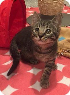 American Shorthair Kitten for adoption in Irvine, California - Dillon