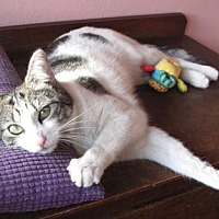 Domestic Shorthair Cat for adoption in Los Angeles, California - Flora