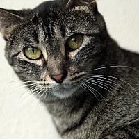 Adopt A Pet :: Sweetpea - St. Louis, MO
