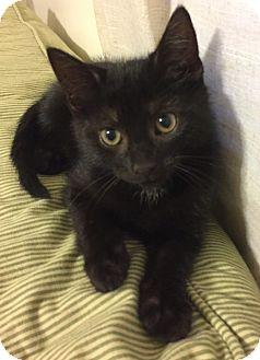 Domestic Shorthair Kitten for adoption in Richmond, Virginia - Batman
