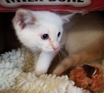 Domestic Shorthair/Domestic Shorthair Mix Cat for adoption in Buffalo, Wyoming - Dawn