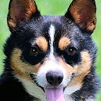 Adopt A Pet :: BLAZE(GENTLE-KIND-SO LOVING!! - Wakefield, RI