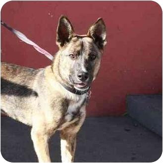 Blue Heeler Mix Dog for adoption in Denver, Colorado - Cyrano