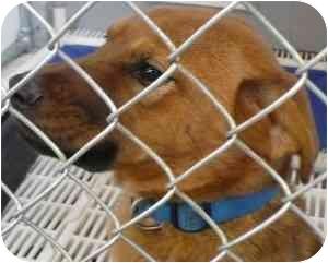 Labrador Retriever/German Shepherd Dog Mix Puppy for adoption in Arlington, Virginia - Amber