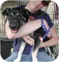 German Shepherd Dog/Labrador Retriever Mix Puppy for adoption in Carrollton, Texas - Sierra