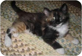 Domestic Mediumhair Kitten for adoption in Davis, California - Henrietta