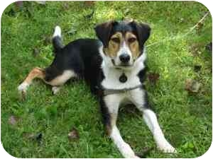 Foxhound/Beagle Mix Dog for adoption in kennebunkport, Maine - Tex - in Maine!
