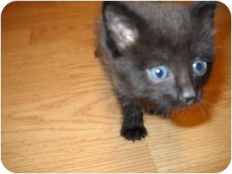Domestic Shorthair Kitten for adoption in Washington Terrace, Utah - 1 CUTE KITTEN!!