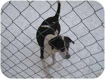Pointer/Dalmatian Mix Dog for adoption in Denton, North Carolina - Choctaw