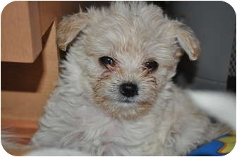 Terrier (Unknown Type, Small) Mix Puppy for adoption in Tumwater, Washington - P. Bear