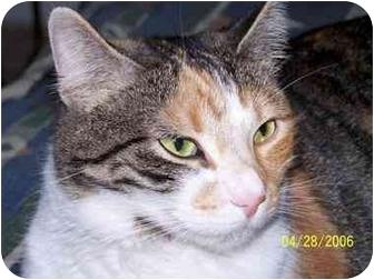 Domestic Shorthair Cat for adoption in Sheboygan, Wisconsin - Yoda