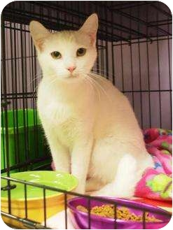 Domestic Shorthair Cat for adoption in Ocean City, New Jersey - Vienna