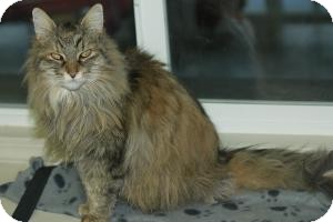 Domestic Longhair Cat for adoption in Maple Ridge, British Columbia - Mila