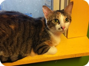 Domestic Shorthair Cat for adoption in Topeka, Kansas - Tinkerbell